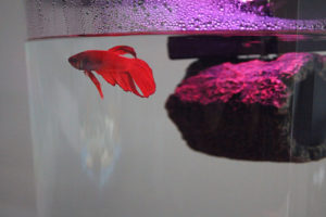 flub-fish-betta-tank-red-crimson-log