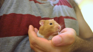 Do Hamsters Hibernate? How do I help a Hibernating Hamster?
