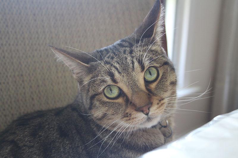walker-eyes-pretty-tabby-cat-brown-pets-overload
