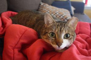 beau-cat-kitten-lying-blanket-cute-adorable-pets