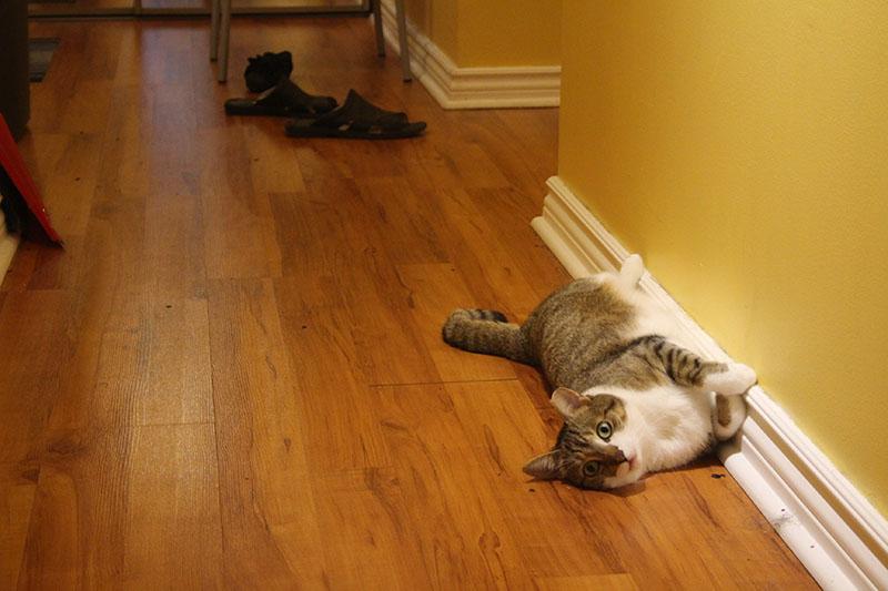 beau-rolling-house-kitten-cat-shorthair-domestic