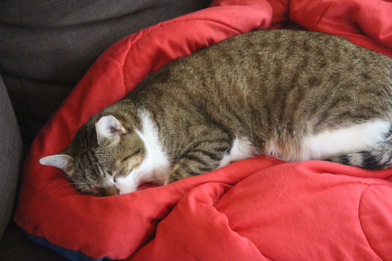 beau-sleeping-blanket-cute-lying-cat-kitten