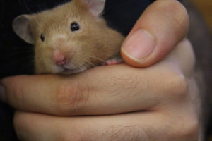 twitch-hamster-small-mammal-pets-overload-cute