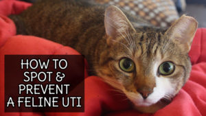 How to Spot & Prevent a Feline UTI