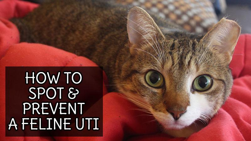 How to Spot & Prevent a Feline UTI