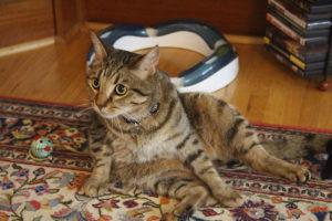 walker-sitting-down-cleaning-self-domestic-shorthair