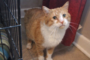 hank-orange-cat-north-toronto-cat-rescue-tabby-white