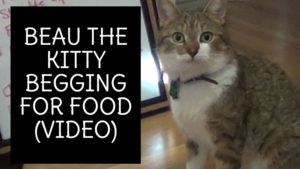 Beau the Kitty Begging for Food