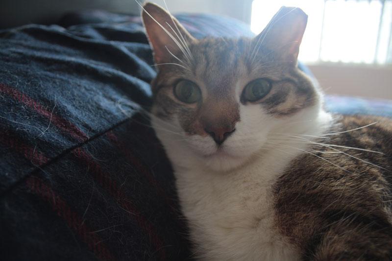 beau-lying-pillow-sleeping-cute-kitten