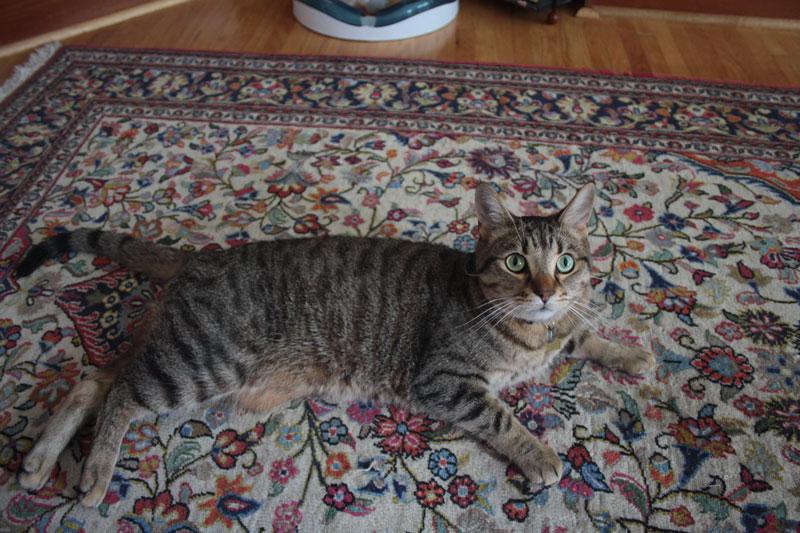 walker-lying-tummy-carpet-cute-cat