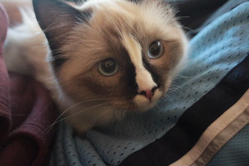 A Mysterious Intruder (Ragdoll Kitty!)