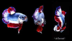 What was the Most Expensive Betta Fish Sold in the World? How much did/does it cost?
