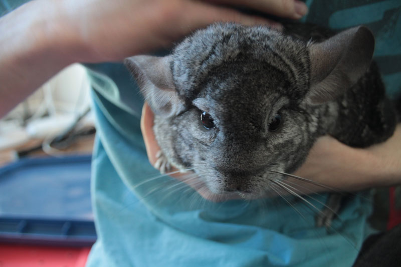 meet-gary-chinchilla-2
