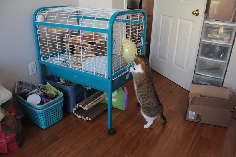 bea-meeting-gary-2-chinchilla-cat