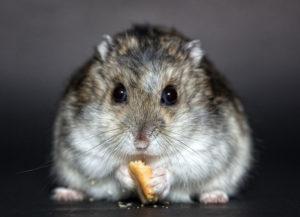 dwarf-hamster