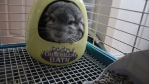 Do Chinchillas Need Dust Baths? Are They Necessary or Can I Skip Them?