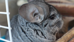 36 Most Interesting Facts About Chinchillas in the Wild