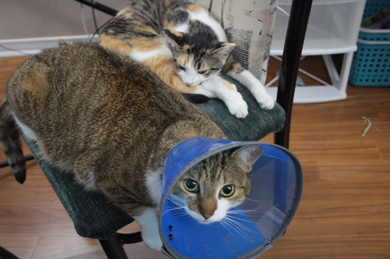 Our Kitties Are Getting Along! (Photos of Cats & Chinchilla)