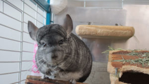 How Much Are Chinchillas?