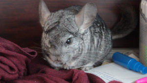 Gary You Are the Sweetest Cuddler Ever! (Chinchilla & Cat Photos)