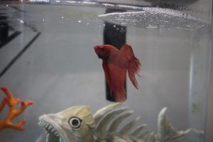 blub-betta-fish-3