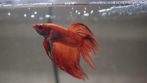 What Is a Betta Fish's Natural Diet? What Is the Best Type of Food (Pellets, Freeze-Dried, Frozen or Raw)?