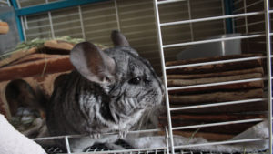 My Partner Left Our Chinchilla's Cage Open… (Cute Chinchilla Story)