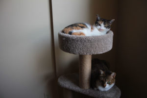 beau-and-kalista-on-cat-tree-3