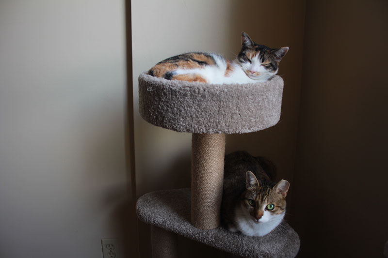 beau-and-kalista-on-cat-tree-4
