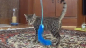 Walker Playing With Feathers While He Was A Kitten (Cute Cat Video)