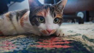 Kalista, Our Cat, Is In Love With Our Carpet!