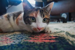 kalista-on-carpet
