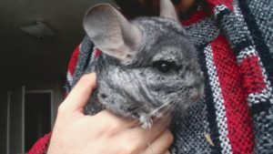 Gary, Our Chinchilla, Is Doing Much Better