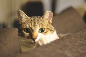beau-closeup-eyes-couch-hiding