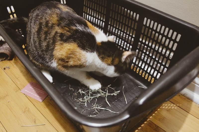 kalista-eating-hay