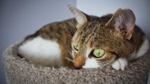What Is FIV (Feline Immunodeficiency Virus) or Feline AIDS? What Can I Do to Help My Cat?