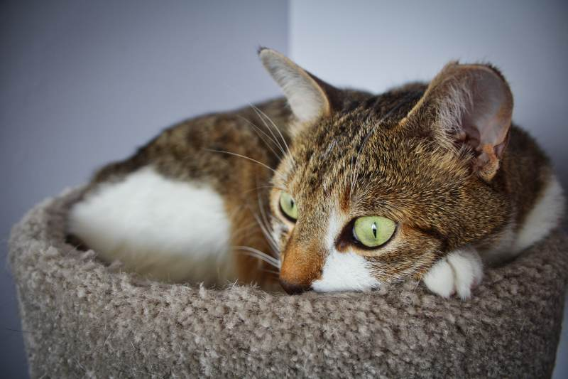 beau-intense-eyes-cat-tree