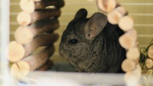 How Do I Know If My Chinchilla Is Pregnant?