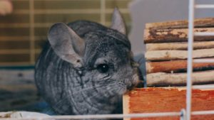 Why Can't Chinchillas Get Wet? How Do I Clean My Chinchilla?