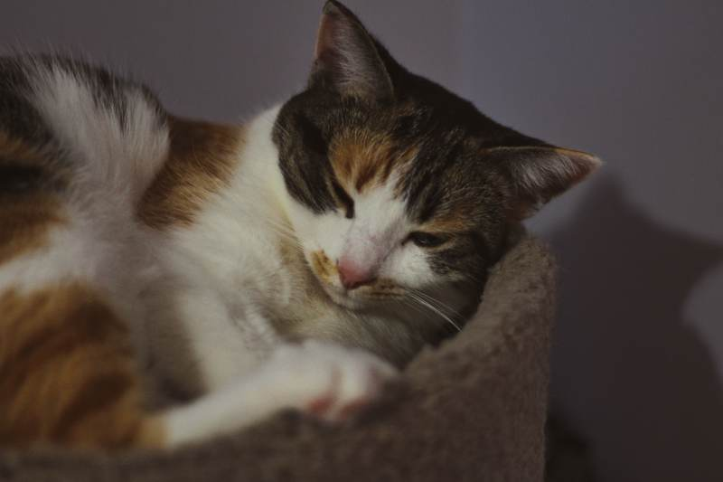 kalista-sleeping-cozy-cat-tree-close-up-cuddled