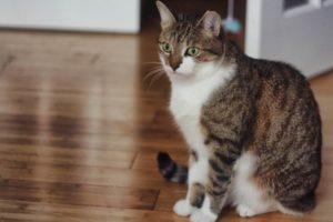 beau-cat-tabby-horseshoe-cat
