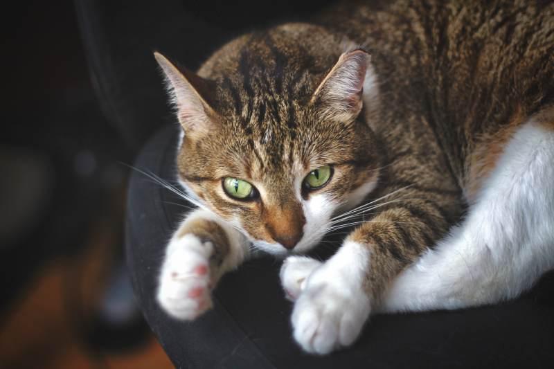 beau-lying-on-chair-secretary-cat-adorable
