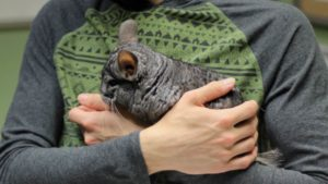Are Chinchillas Nocturnal? Chinchilla Sleeping Habits