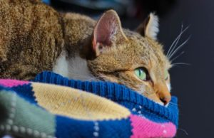 beau-lying-down-on-sweater-open-eyes-whiskers