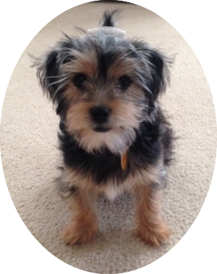 Roxy a King Charles Yorkie mix