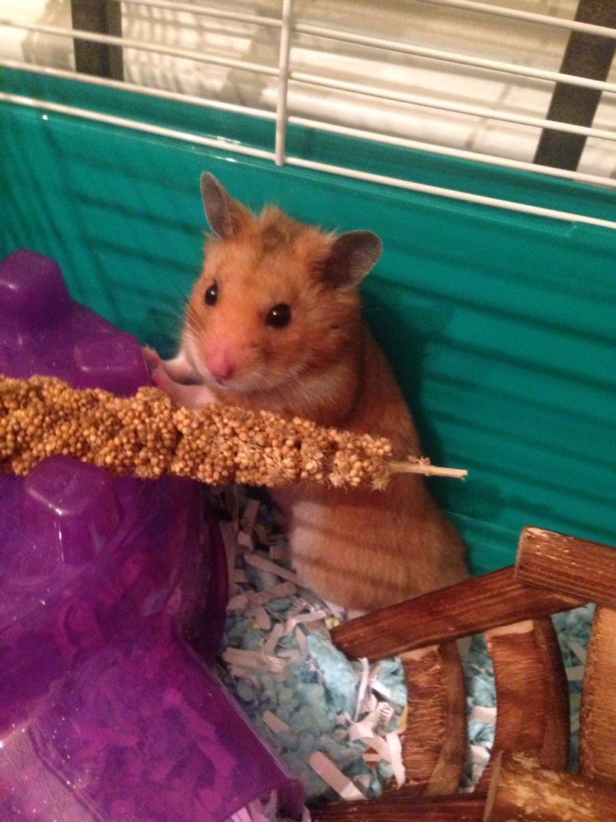 Oliver a Hamster