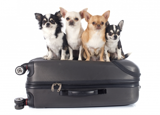 Dog, Chihuahua, Suitcase, Your Pet at Home
