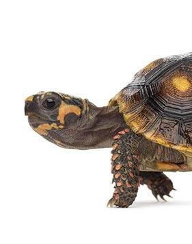 imagem de uma tartaruga