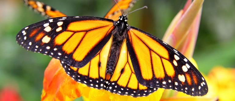 Butterfly-web