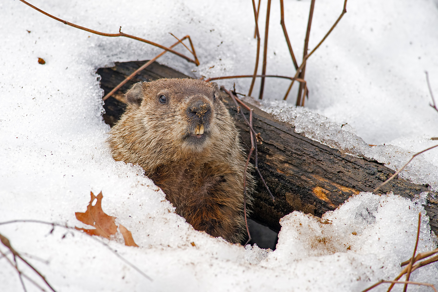 Bigstock groundhog emerging from a snow 279432439